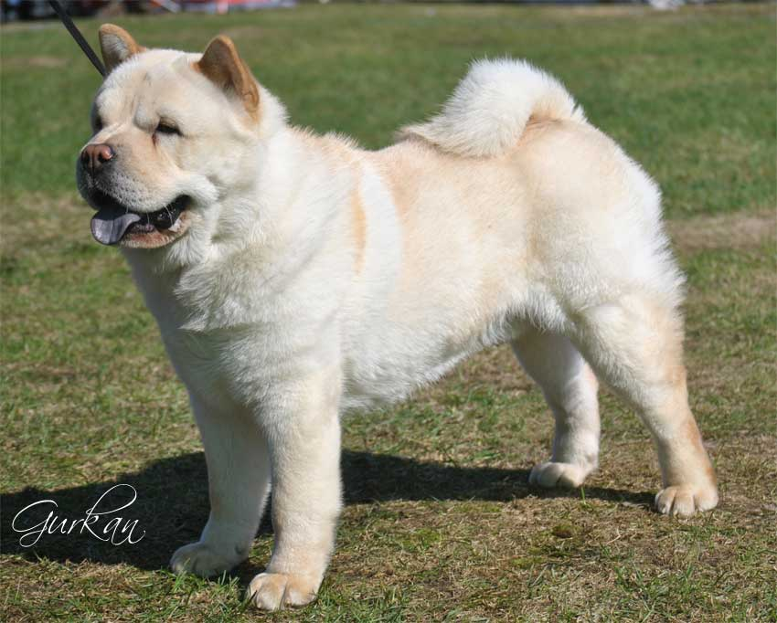 Pics Photos - Black And White Chow Chow Puppieselo Designer Dog Puppy ...